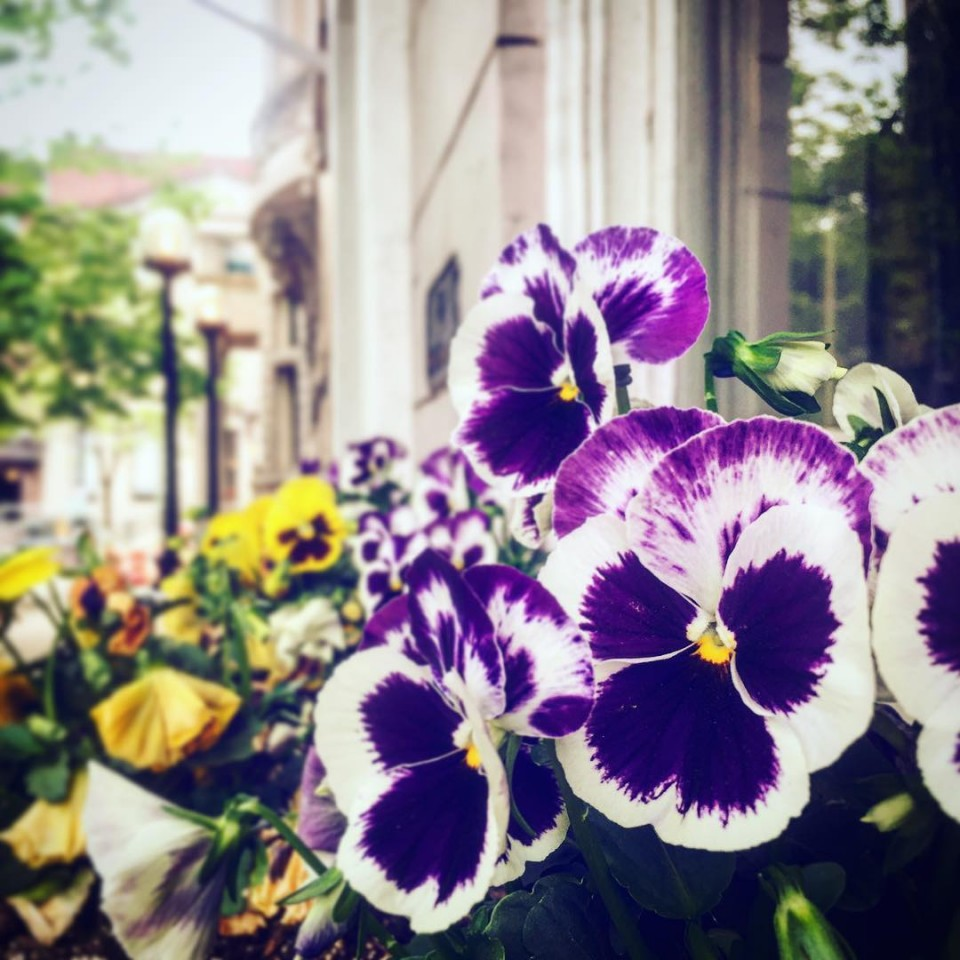 I do love my Pansies! springhassprung